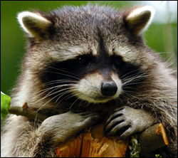 raccoon removal San Antonio