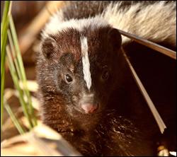 skunk removal San Antonio
